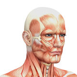 Athletic male human anatomy and muscles Stock Photo