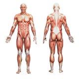 Athletische männliche menschliche Anatomie und Muskeln Stockfotos