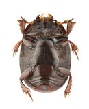 Atholus duodecimstriatus Stock Image