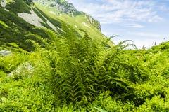 Athyrium distentifolium (Alpine Lady-fern). Fern - Athyrium distentifolium (Alpine Lady-fern royalty free stock photo