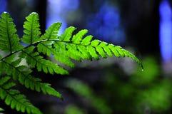 athyrium fern distetifolim Fotografia Royalty Free