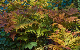 Athyrium filix-femina  in the autumn . Royalty Free Stock Photo