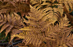 Athyrium filix-femina. Stock Photo