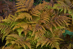 Athyrium filix-femina  in the autumn forest. Stock Image