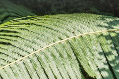 Fern in the forest, Thailand. Royalty Free Stock Photos