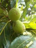 Atilis d'artocarpus de fruits à pain sur l'arbre image libre de droits