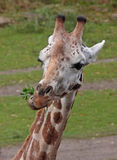 Ating giraffe Royalty Free Stock Photos