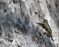 Atirador furtivo do mosquito Foto de Stock