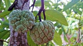 Atis (ζάχαρη Apple) στο δέντρο Στοκ Φωτογραφίες