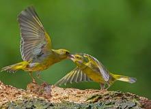 Atitude agressiva de Greenfinch Imagens de Stock Royalty Free