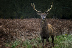 Atitude. Young stag in Richmond Park London Royalty Free Stock Photography