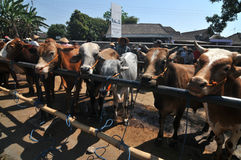 Atividade no mercado tradicional da vaca durante a preparação de Eid al-Adha em Indonésia Fotografia de Stock Royalty Free