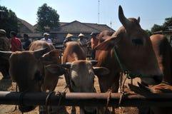 Atividade no mercado tradicional da vaca durante a preparação de Eid al-Adha em Indonésia Fotografia de Stock