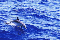 Atlântico manchou o golfinho Fotos de Stock
