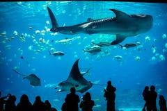 Whale shark and manta ray at the Georgia Aquarium stock photos