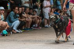 Dog Wears Wonder Woman Outfit At Atlanta Doggy Con Event. Atlanta, GA, USA - August 18, 2018: A dog walks in front of crowd of spectators wearing a Wonder Woman stock image