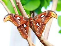 Atlante di Attacus Fotografie Stock