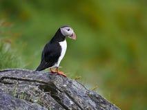 Atlanten eller gemensam lunnefågel Fotografering för Bildbyråer