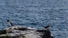 Atlantic birdlife stock video footage