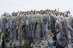 Atlantic birdlife, Farne Islands Nature Reserve, England Royalty Free Stock Images