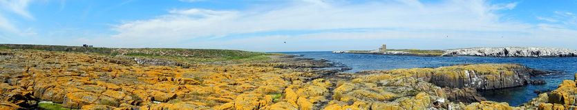 Atlantic birdlife, Farne Islands Nature Reserve, England Royalty Free Stock Photography