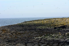 Atlantic birdlife, Farne Islands Nature Reserve, England Stock Images