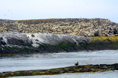 Atlantic birdlife, Farne Islands Nature Reserve, England Stock Photos