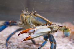 Atlantic Blue Crab Side. Atlantic Blue Crab with Orange Pincers Side Closeup and Scratched Aquarium Glass Stock Image