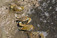 Atlantic Blue Crabs Fishing. Atlantic Blue Crabs (Callinectes sapidus) fishing at low tide in Fishing Creek, in Chesapeake Beach, Maryland USA Royalty Free Stock Photos