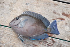Atlantic Blue Tang fish Stock Image