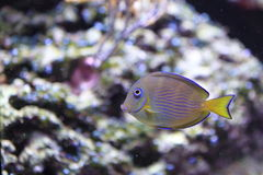 Atlantic blue tang surgeonfish. Floating in water Stock Photography