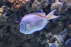 Atlantic blue tang surgeonfish. Floating in water Stock Image