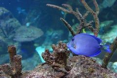 Atlantic blue tang surgeonfish. In water Stock Image