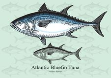 Atlantic Bluefin Tuna Stock Image