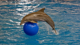 Atlantic bottlenose dolphin Stock Images