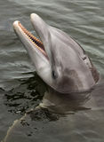 Atlantic bottlenose dolphin, (Tursiops truncatus) Stock Image