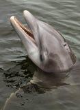 Atlantic bottlenose dolphin, (Tursiops truncatus). Swimming in the ocean stock image