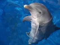Atlantic Bottlenosed Dolphin. The Atlantic bottlenosed dolphin is smaller and lighter in colour than its Pacific relatives Royalty Free Stock Photos