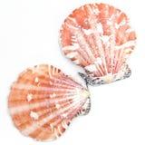 Atlantic Calico Scallop Shell (Argopecten Gibbus) Royalty Free Stock Photos