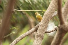 Atlantic canary. Sitting on the wood Royalty Free Stock Photography