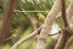 Atlantic canary Royalty Free Stock Photography
