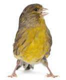 Atlantic Canary, Serinus canaria, 2 years old Stock Photos