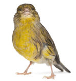 Atlantic Canary, Serinus canaria, 2 years old Stock Photo