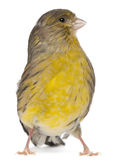 Atlantic Canary, Serinus canaria, 2 years old Stock Images