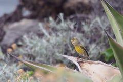 Atlantic canary Stock Photography