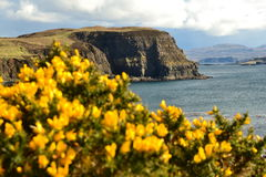 Cliffs and flowers. Atlantic cliffs and flowers of Scotland Royalty Free Stock Image