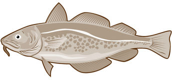 Atlantic Cod Stock Photography