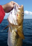 Atlantic Cod Catch. Photo of cod fish caught in the atlantic ocean off the coast of ocean city maryland on a headboat.  The cod is known as a good eating fish Royalty Free Stock Photography