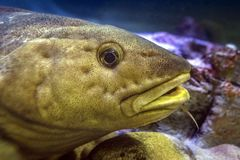 Atlantic cod - Gadus morhua. Marine fish.