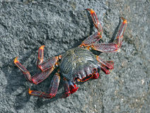 Atlantic crab on rock Stock Images